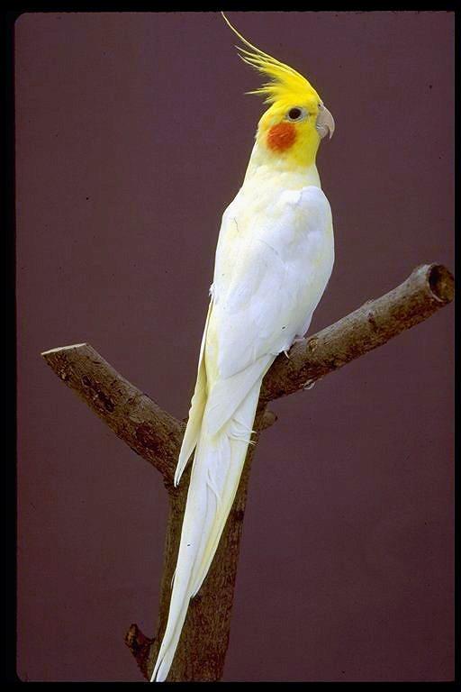 قیمت پرنده قوش Qırqovul - Terter, Azerbaijan - Tap.Az